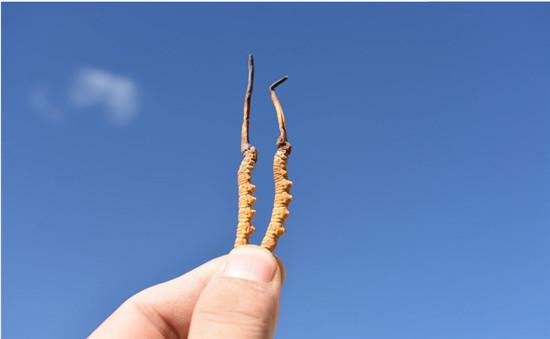 冬虫夏草的吃法和用量 虫草应该怎么吃功效最好