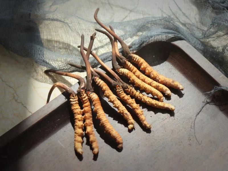 冬虫夏草的功效与最佳吃法